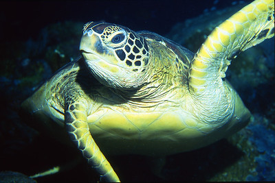 This loggerhead turtle was preoccupied and almost collided with me.   Sipadan Island,  Celebes Sea,  Malaysia.