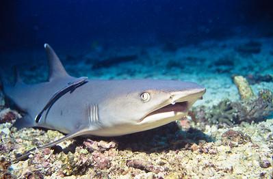 Reef whitetip shark.  Sipadan Island,  Celebes Sea,  Malaysia.