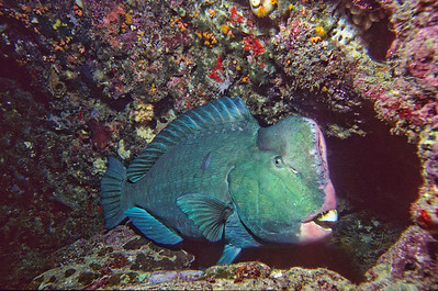 Humphead wrasse.  This is a large fish, possibly four feet long.  Sipadan Island,  Celebes Sea,  Malaysia.