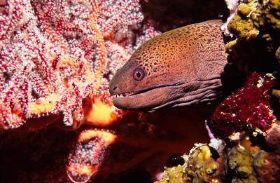Yellow-margined moray eel.  Sipadan Island,  Celebes Sea,  Malaysia.