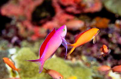 Redfin anthias.  Sipadan Island,  Celebes Sea,  Malaysia.