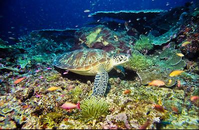 Loggerhead turtle. Sipadan Island,  Celebes Sea,  Malaysia.