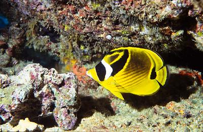 Racoon butterflyfish.  Sipadan Island,  Celebes Sea,  Malaysia.