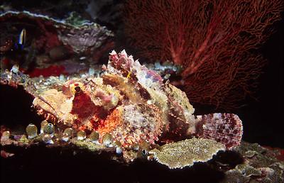 Scorpion fish.  Sipadan Island,  Celebes Sea,  Malaysia.