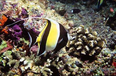 Moorish idol.  Sipadan Island,  Celebes Sea,  Malaysia.