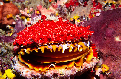 Colorful scallop.  Sipadan Island,  Celebes Sea,  Malaysia.