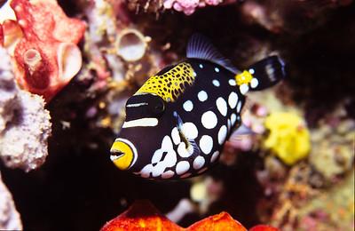 Clown triggerfish.  Sipadan Island,  Celebes Sea,  Malaysia.