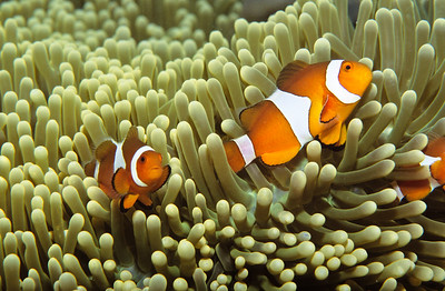 False clown anemonefish in host Anemone.  Sipadan Island,  Celebes Sea,  Malaysia.