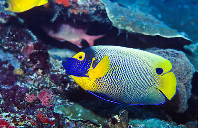 Yellowmask angelfish.  Sipadan Island,  Celebes Sea,  Malaysia.
