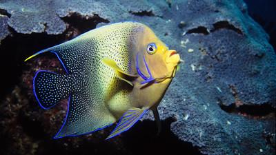 Semicircle angelfish.  Sipadan Island,  Celebes Sea,  Malaysia.