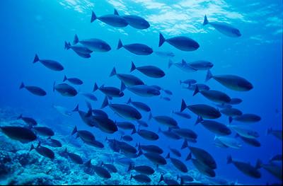 Surgeonfish.  Tubbataha reef, Sulu Sea,  Philippines.