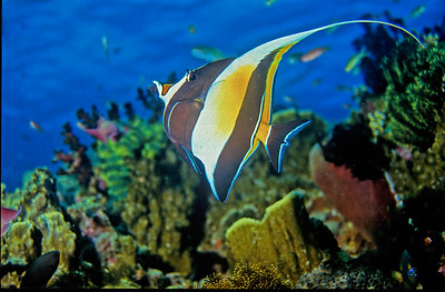 Moorish Idol. Tubbataha reef, Sulu sea, Philippines.