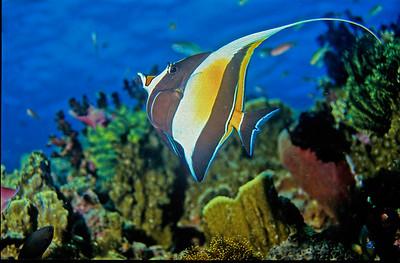 Moorish Idol. Tubbataha reef, Sulu sea, Philippines.
