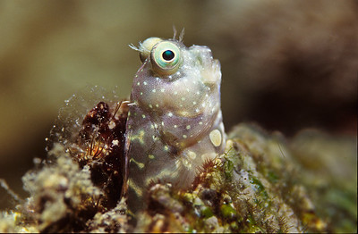 Banded Blenny.  Batangas Bay, Philippines.