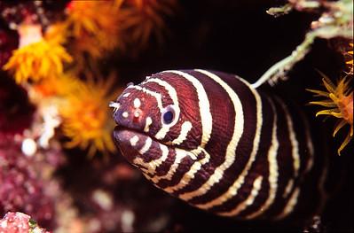 Banded eel.  Balicasag island,  Bohol,  Philippines.