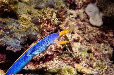Ribbon eel.  Balicasag island,  Bohol,  Philippines.