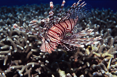 Red Lionfish.  Batangas Bay,  Philippines.