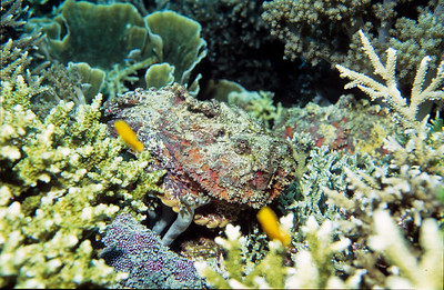 Estuarine Stonefish.  This is the most venomous fish in all the oceans.  Your life can depend on seeing it.  Can you see the second stonefish?   Balicasag island, Bohol,  Philippines.