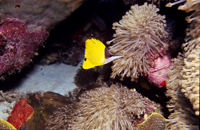 Longnose Butterflyfish.  Tubbataha reef, Sulu Sea,  Philippines.