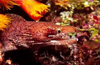 Starry eel.  Balicasag island,  Bohol,  Philippines.