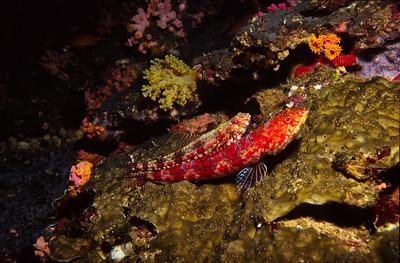 Lizard Fish.  Batangas Bay, Luzon Island,  Philippines.