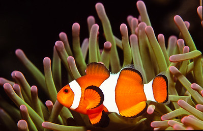 False Anemonefish.  Moalboal, Cebu island,  Philippines.
