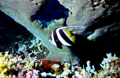 Longfin Bannerfish.  Tubbataha reef, Sulu Sea, Philippines.
