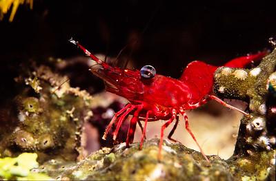 Hingebeak Shrimp.  Batangas Bay, Luzon Island, Philippines.
