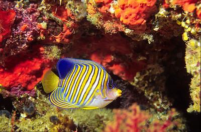 Regal Angelfish.  Tubbataha reef, Sulu Sea,  Philippines.