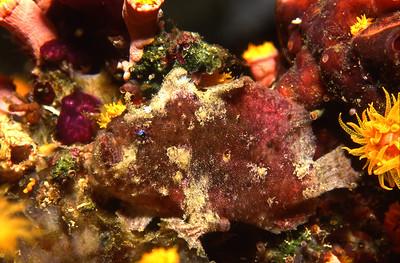 Frogfish.  Balicasag Island, Bohol, Philippines.
