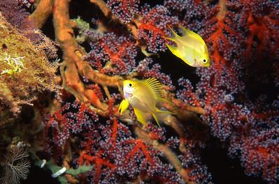 Golden damselfish.  Batangas Bay, Luzon Island, Philippines.
