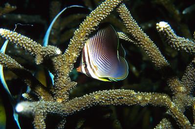 Trianglar butterfly fish.  Tubbataha reef, Sulu Sea, Philippines.