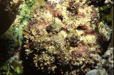 Estuarine Stonfish.  Balicasag Island,  Bohol,  Philippines.