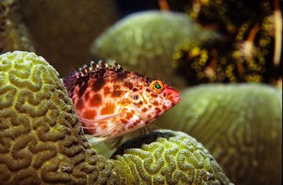 Pixy Hawkfish.  Balicasag island, Philippines.