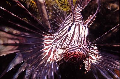 Red Lionfish.  Batangas Bay, Luzon Island, Philippines.
