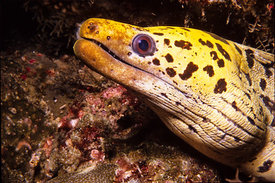 Yellow eel.  Batangas Bay, Luzon Island,  Philippines.