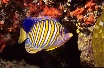 Regal Angelfish.  Balicasag island, Philippines.