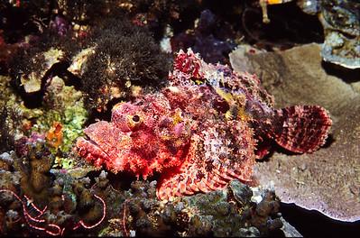 Smallscale Scorpionfish.  Balicasig Island, Bohol,  Philippines.