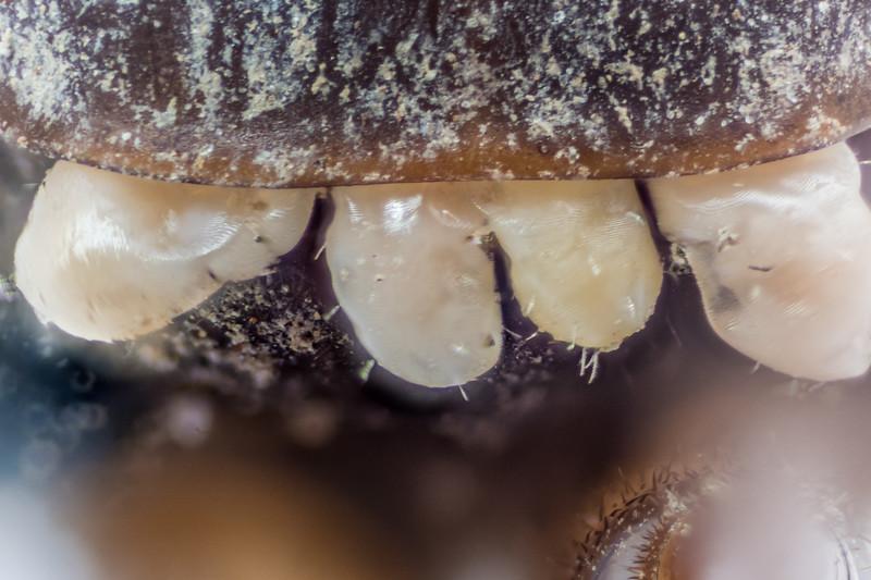 Mites (order Prostigmata) parasitizing a cave wētā (Macropathus spp.). Tunnel Hill, Catlins.