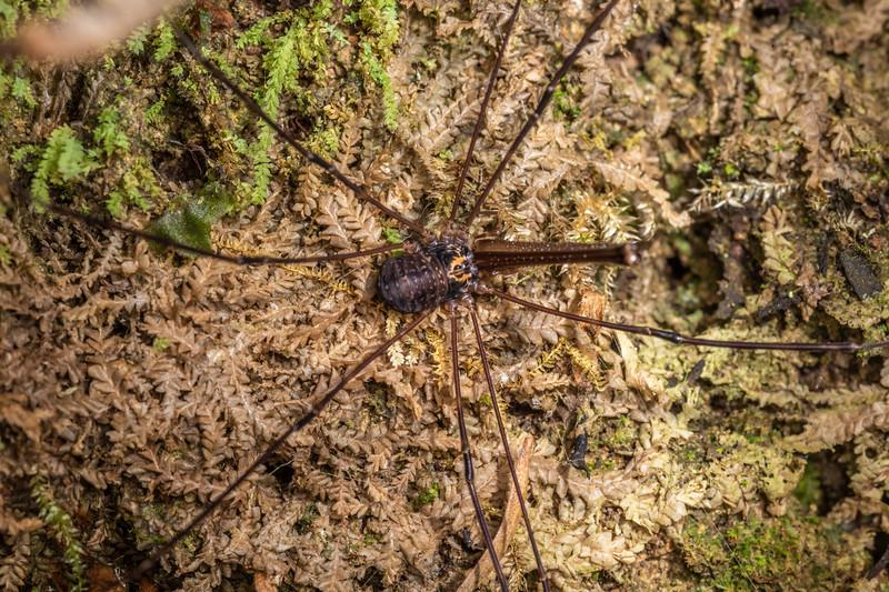 Harvestman (Forsteropsalis spp.). Waterworks Walk, Ngaruawahia.