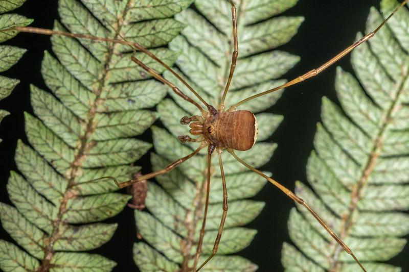 Harvestman (Forsteropsalis grimmetti) female. Serendipity Cave, Jackson Bay, South Westland.