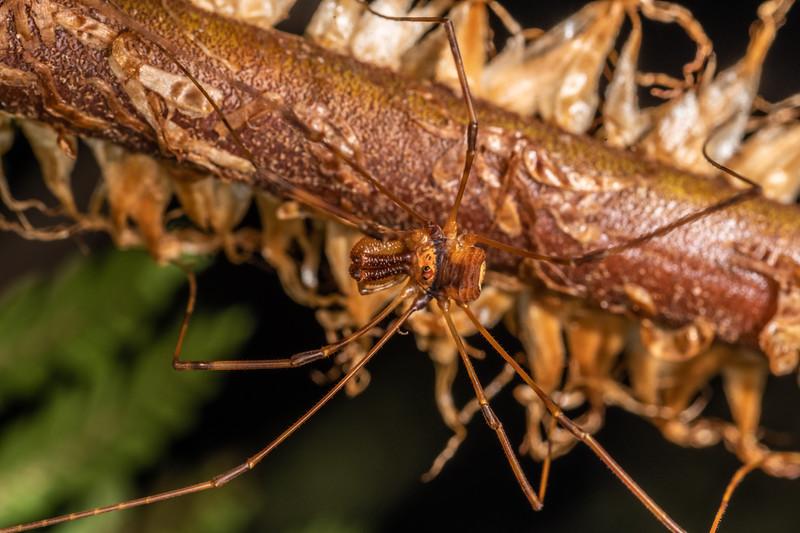 Harvestman (Forsteropsalis grimmetti) male. Serendipity Cave, Jackson Bay, South Westland.