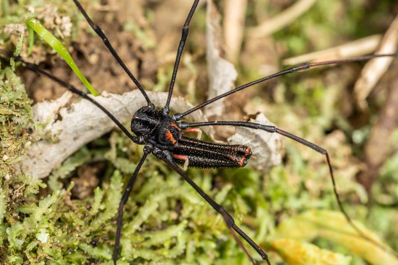 Harvestman (Forsteropsalis inconstans) adult male. Nikau Creek, Wainuiomata, Wellington.