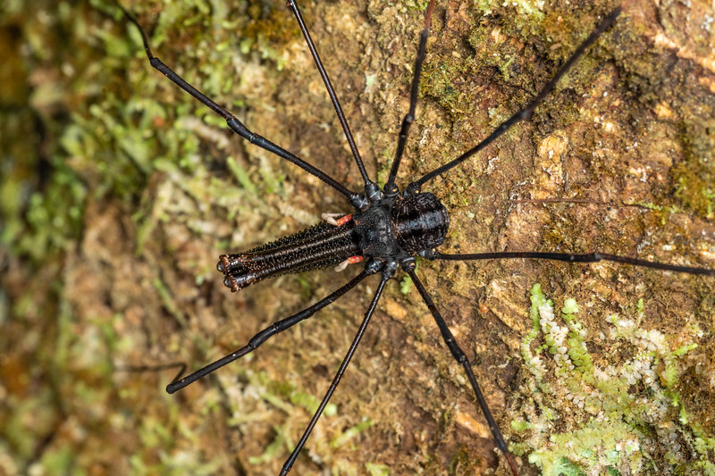 Harvestman (Forsteropsalis inconstans) adult male. Sledge track, Palmerston North, Manawatū.