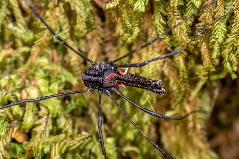 Harvestman (Forsteropsalis inconstans) male. Bulmer Creek, Mt Owen, Kahurangi National Park.