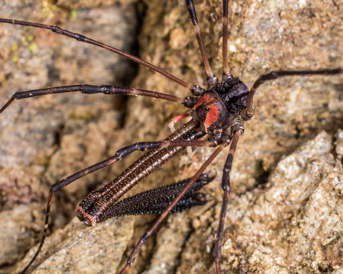 Harvestman (Forsteropsalis inconstans). Flora Hut, Kahurangi National Park.