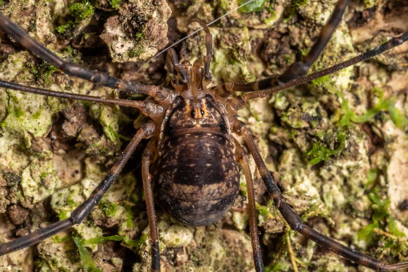 Harvestman (Forsteropsalis marplesi) female. Woodhaugh Gardens, Dunedin.
