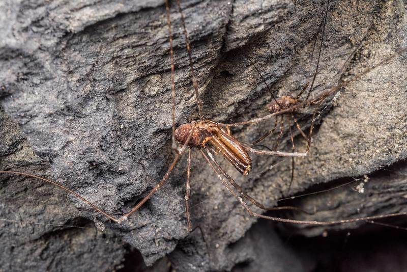 Harvestman (Forsteropsalis marplesi) male and female. Mt Stuart Tunnel, Manuka Gorge, Milton.