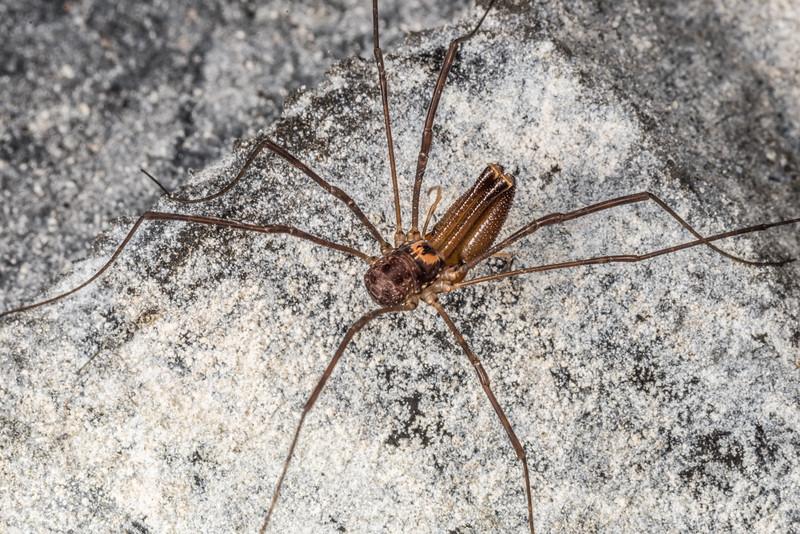 Harvestman (Forsteropsalis marplesi) male. Mt Stuart Tunnel, Manuka Gorge, Milton.