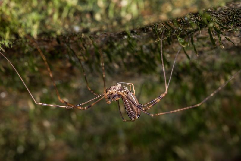 Male Forsteropsalis marplesi. Opoho Creek, Dunedin.